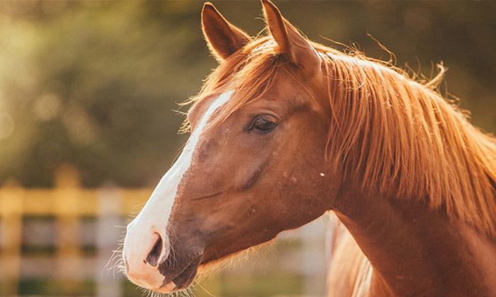 Transpondeur de cheval